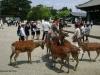 Caprioarele din Nara